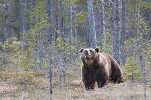 Wild Jämtland- En viltskådningsplats för björn