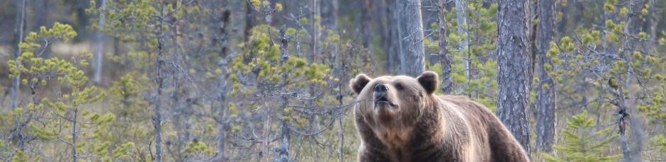 Björn luktar
