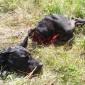Vad krävs för att få jaga varg? Sven Gunnar Sivertsson har ordet